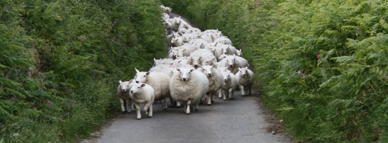 The lane sheep